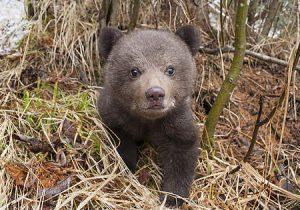 Puiul de urs, grav rănit de tren, va fi eutanasiat
